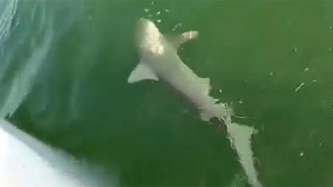 상어 집어삼킨 괴물 물고기 출현