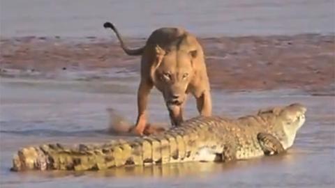 사자와 악어의 혈투, 승자는?