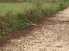 해남 논밭을 뒤덮은 메뚜기떼, 경악!