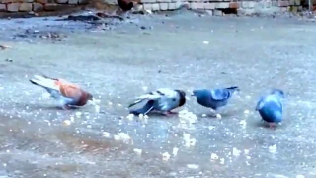 비둘기 인생의 최대의 고비