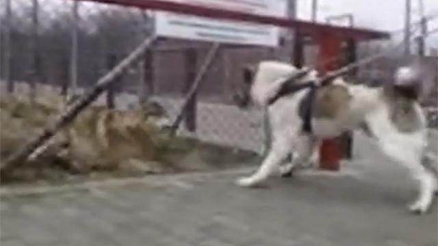 견공 알라바이 vs  늑대