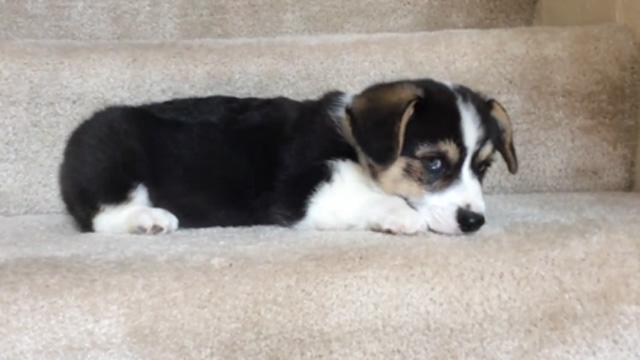 계단 내려오는 게 무서운 강아지