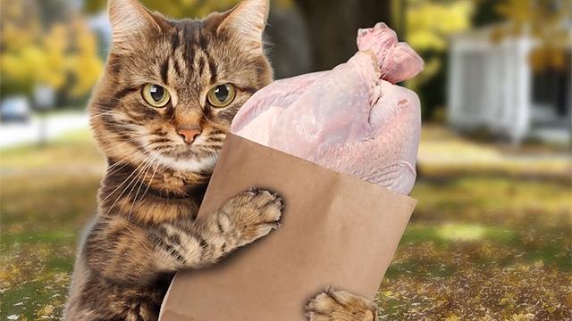 추수감사절을 준비하는 고양이