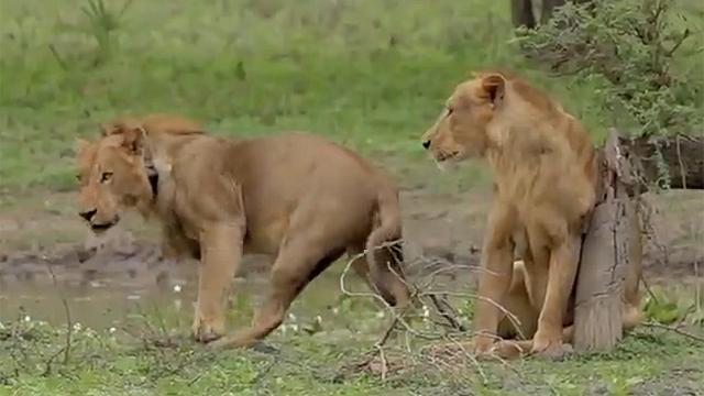 사자조차 줄행랑치게 만든 동물