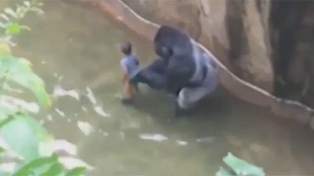 고릴라 우리 속으로 떨어진 꼬마