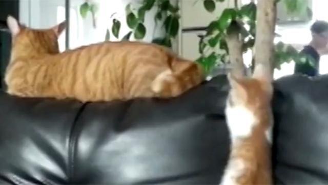 꼬리로 놀아주는 츤데레 고양이