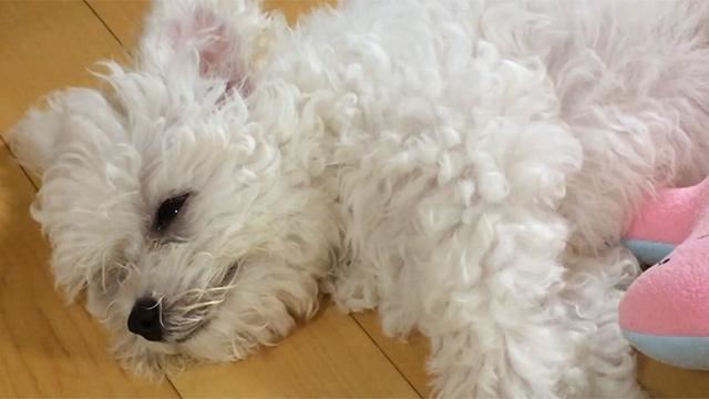 슬픈 듯 폭풍 오열하는 강아지