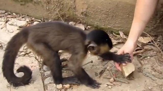 돌 사용법 가르쳐 주는 원숭이