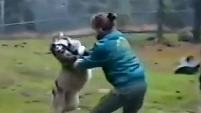 늑대를 한 번에 제압하는 사육사